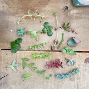 LIVE SUCCULENTS | 5 Assorted Mystery Cuttings